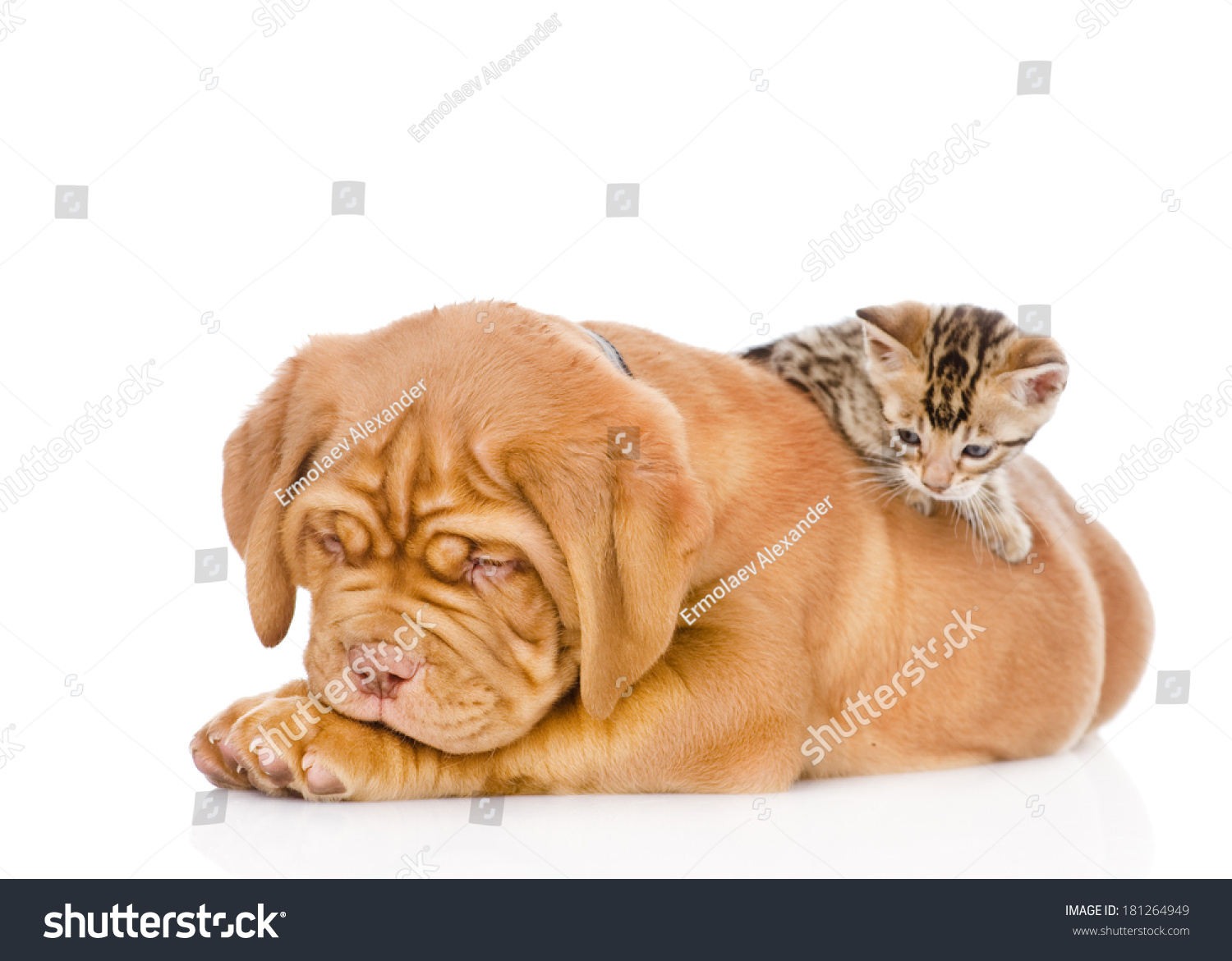 kitten playing with a puppy. isolated on white background #181264949