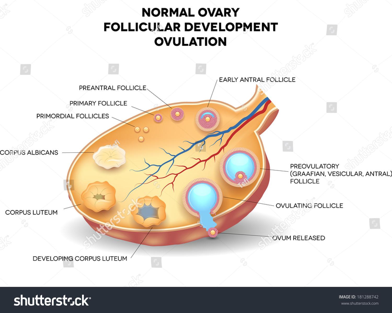 Normal Ovary Follicular Development Ovulation Ovum Stock Vector