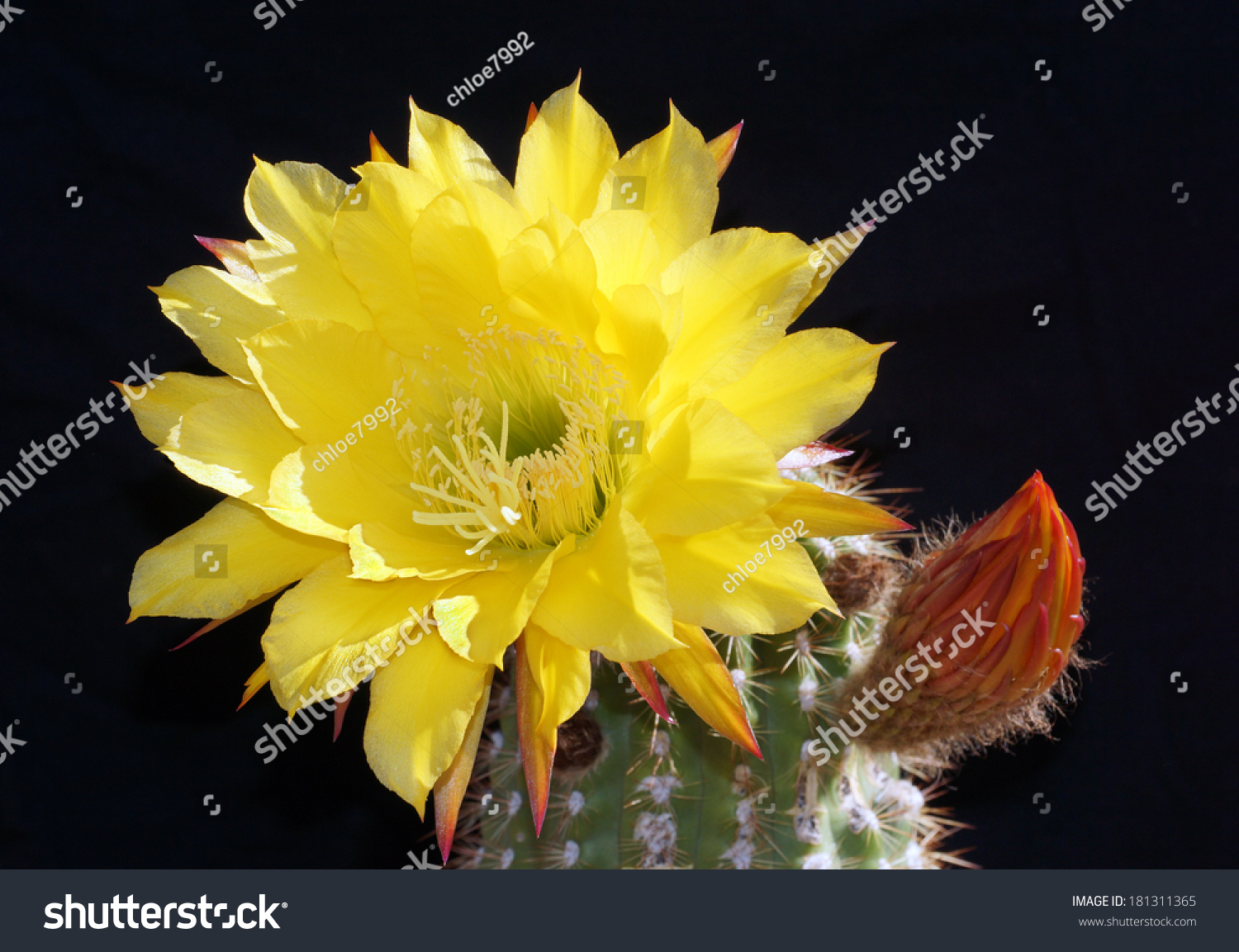 Beautiful Large Yellow Flower Blooms Beside Stock Photo Edit Now