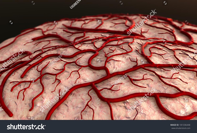 Brain Model Brain Surfase Circulatory System Stock Illustration