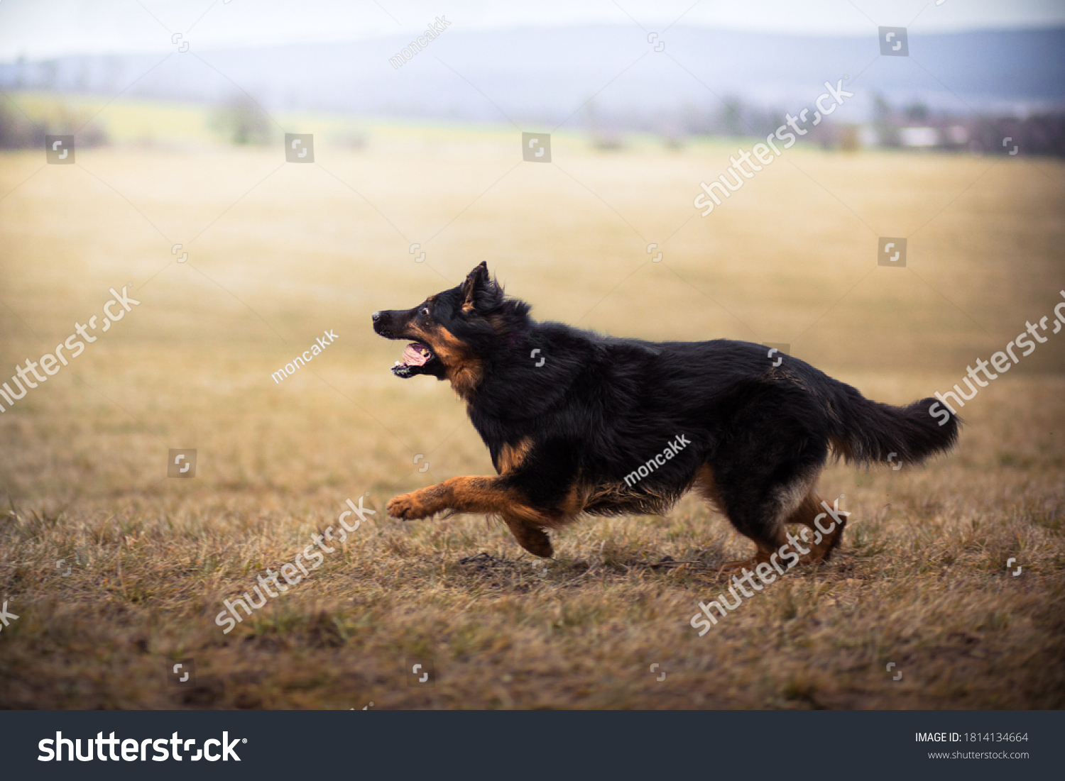 Running czech national breed Bohemian shepherd #1814134664