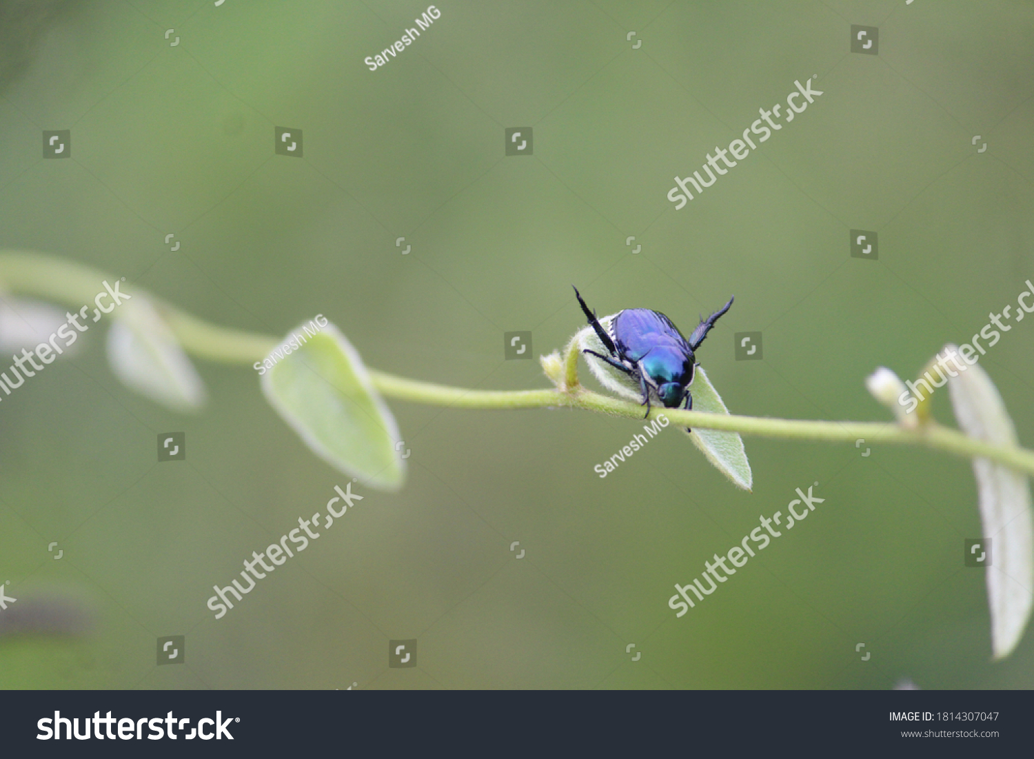 An excellent looking wasp is upon a branch of a plant in the wild. Purple colored insect is young and doing pollination #1814307047