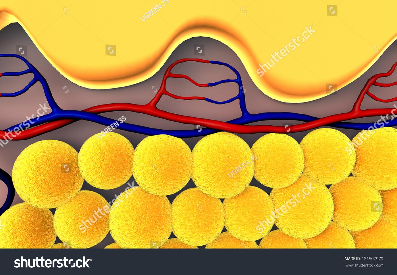 Fat Cells Subcutaneous Fat Illustration Human Stock Illustration ...