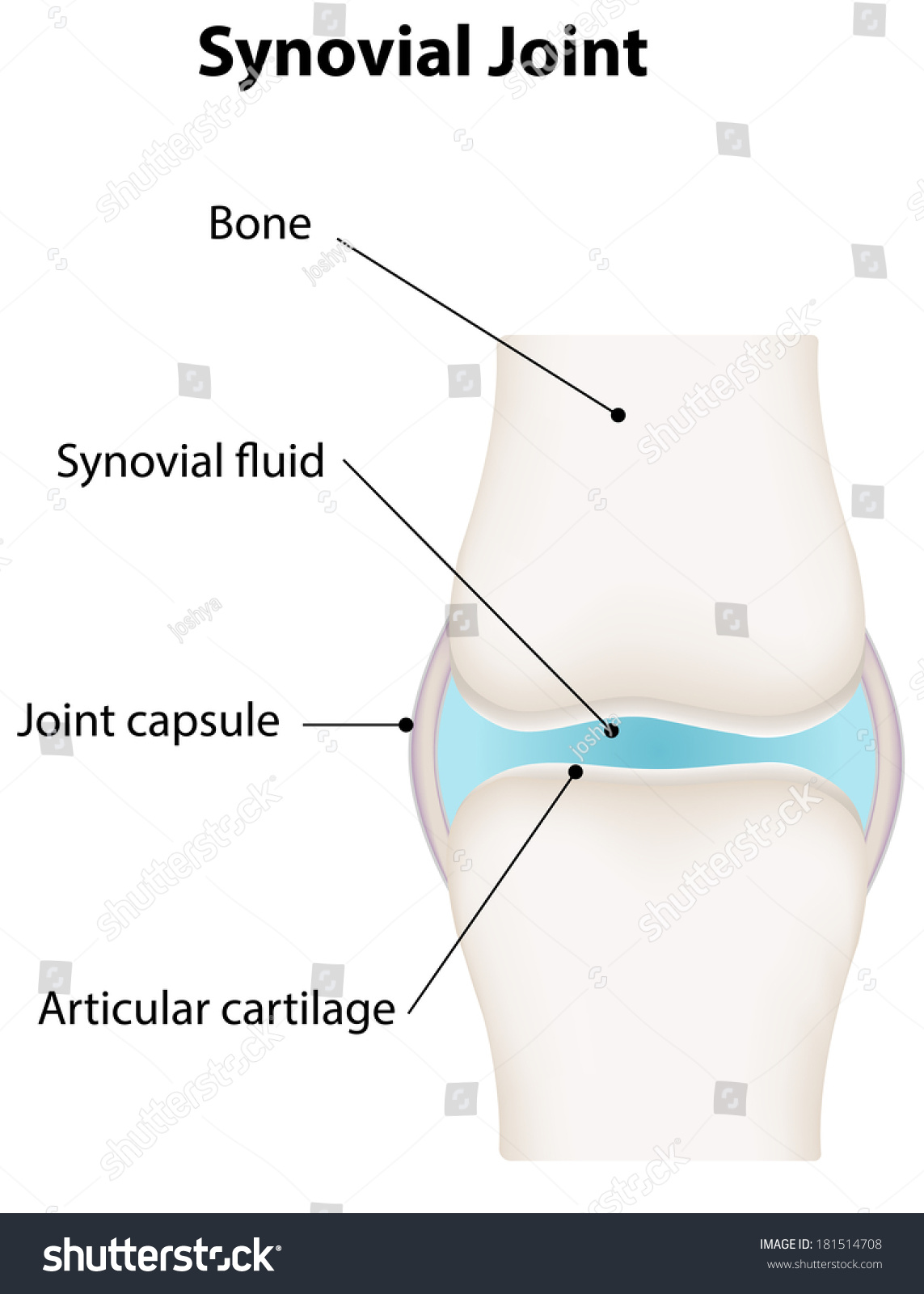 Synovial Joint Diagram Stock Vector Royalty Free 181514708