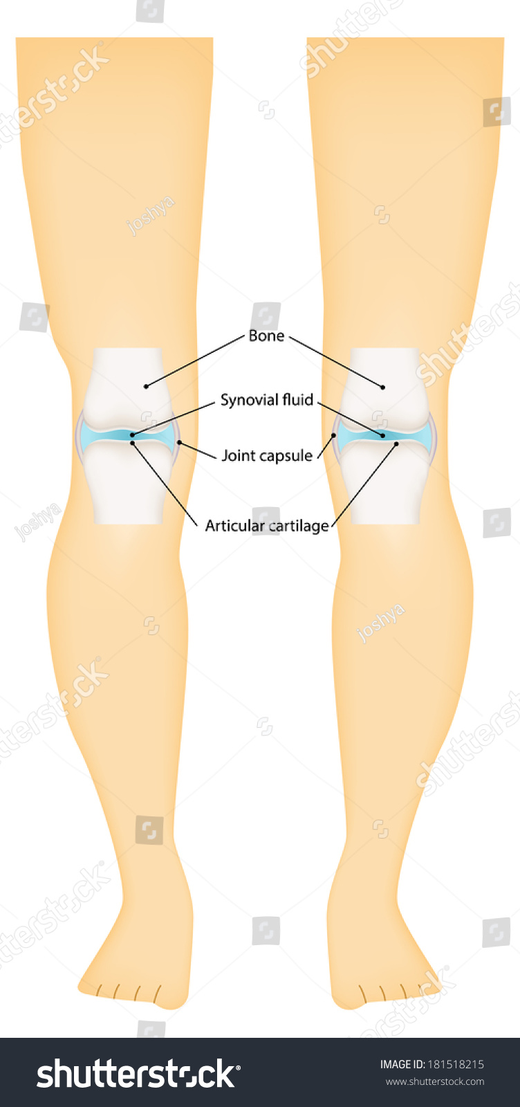Synovial joint knee labeled diagram stock illustration 181518215 synovial joint knee labeled diagram pooptronica Gallery