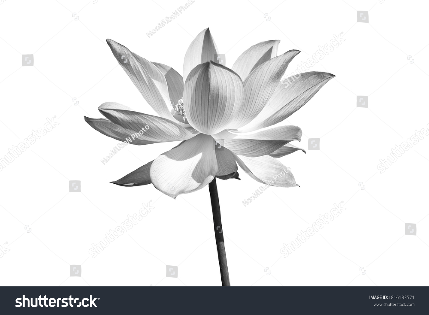Black white Lotus flower isolated on white background. File with clipping path. #1816183571