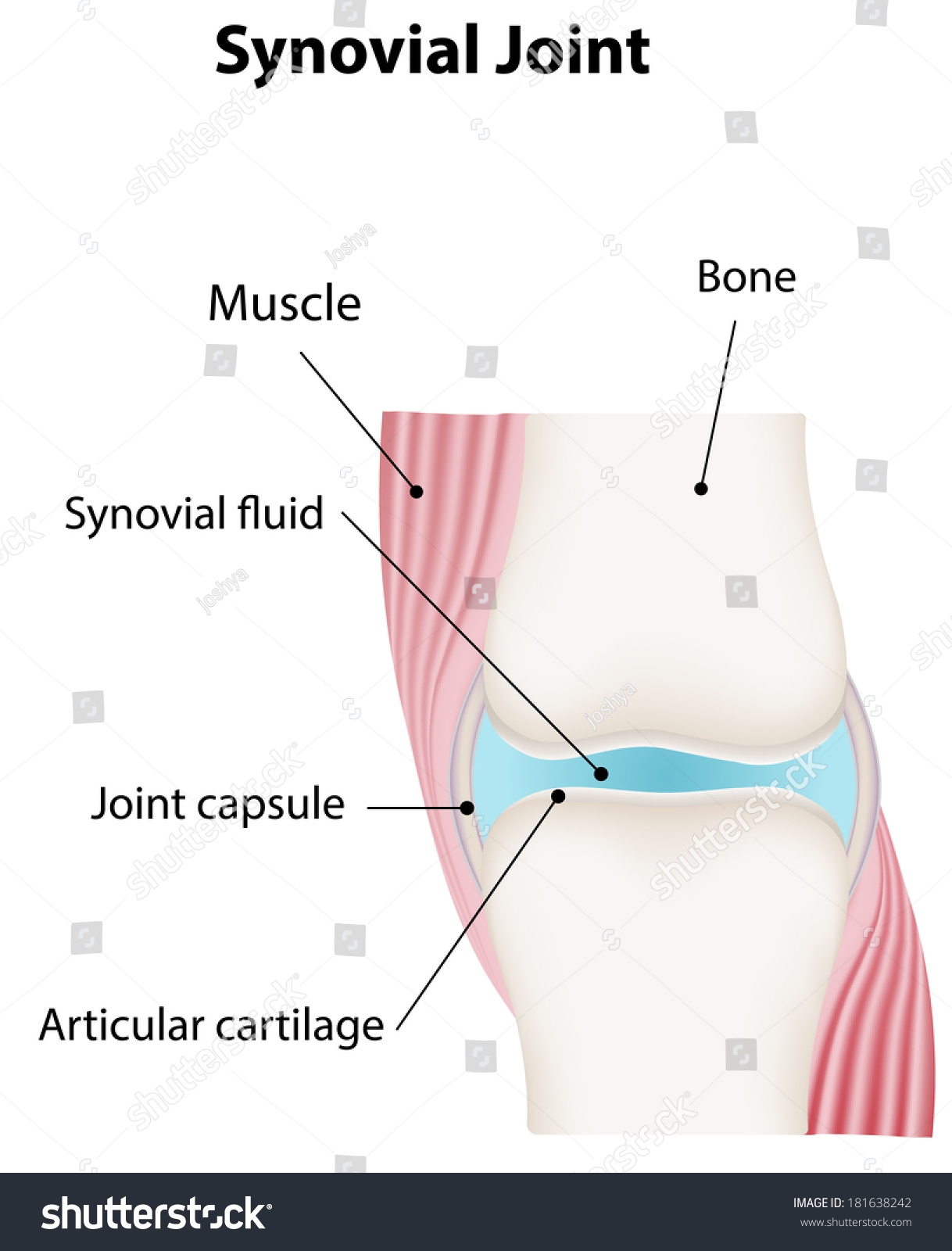 diagram of synovial joints diagram database wiring diagram synovial joint diagram stock illustration 181638242 shutterstock