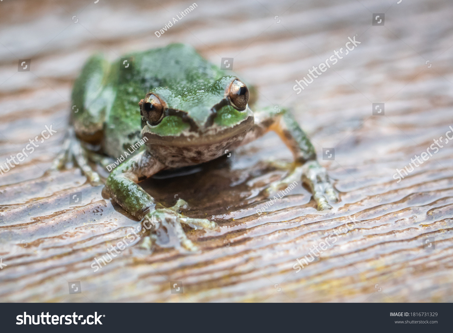 Pacific tree frogs (Pseudacris regilla) are common in Monterey, California. Their range includes California, Oregon, Washington, Canada and southern Alaska.  They can change between green and brown.