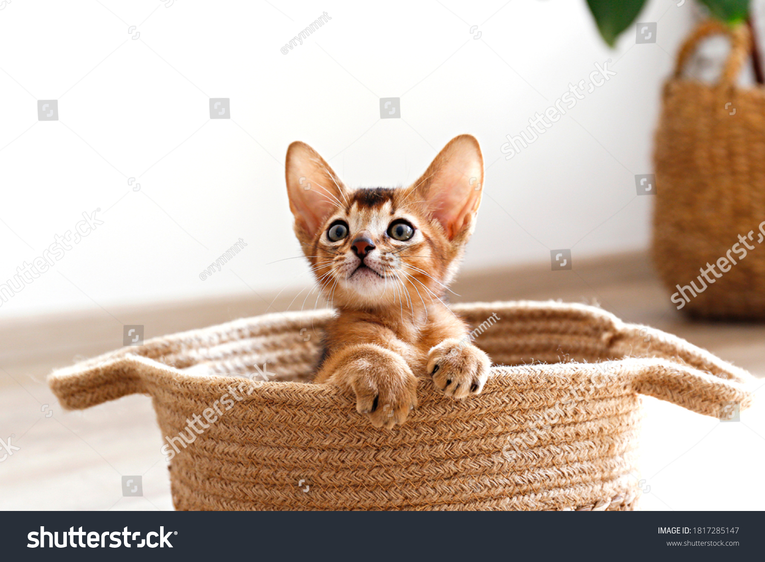 Studio shot of small cute abyssinian kitten sitting in the basket at home, white wall background. Young beautiful purebred short haired kitty. Close up, copy space. #1817285147