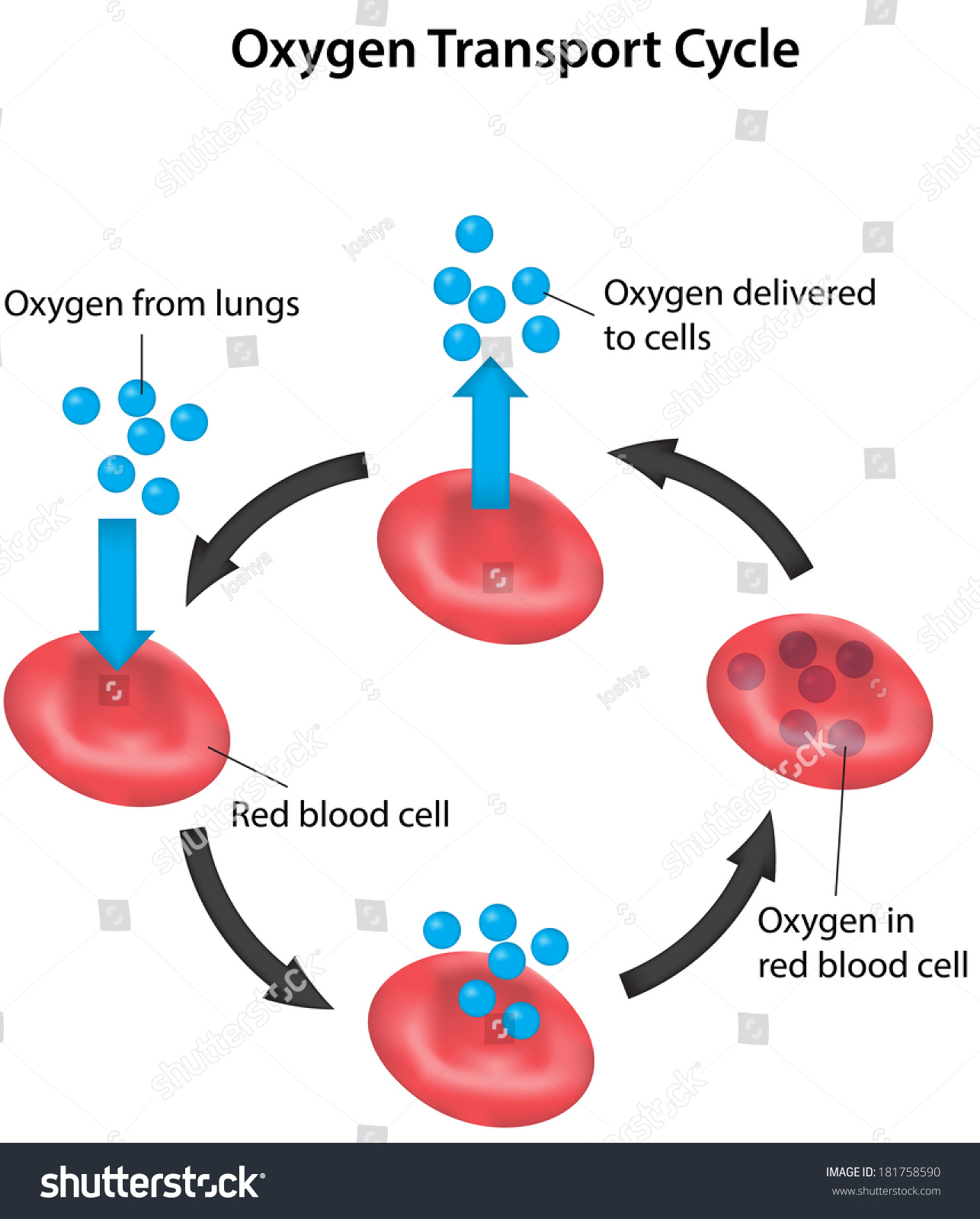 Oxygen Transport Cycle Labeled Diagram Stock Photo