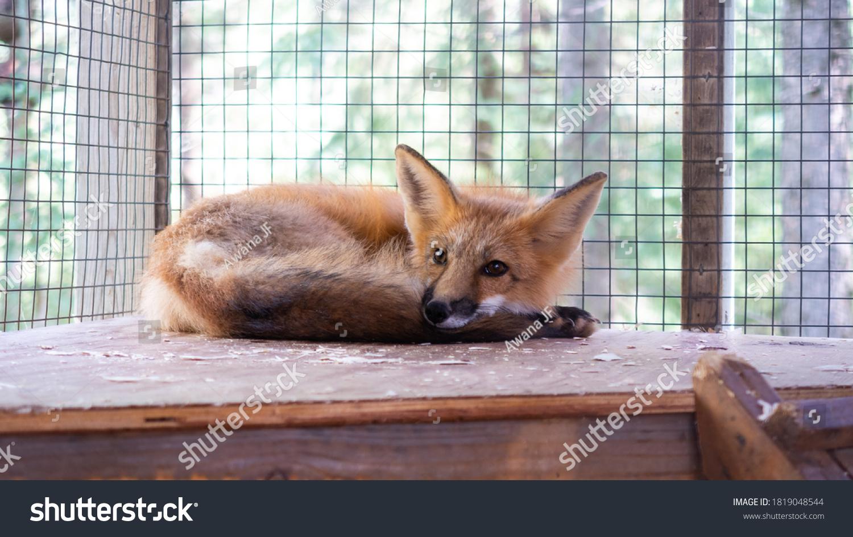 stock-photo-beautiful-young-fox-lying-do