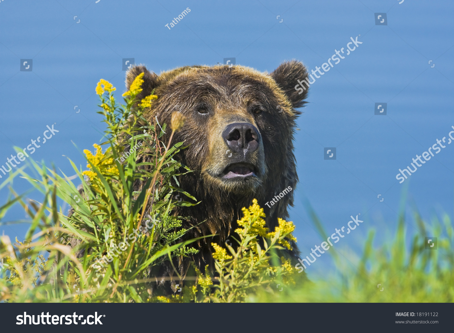 stock-photo-grizzly-bear-at-the-pond-181