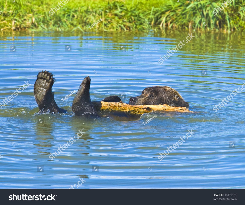 stock-photo-bathing-grizzly-bear-rare-mo