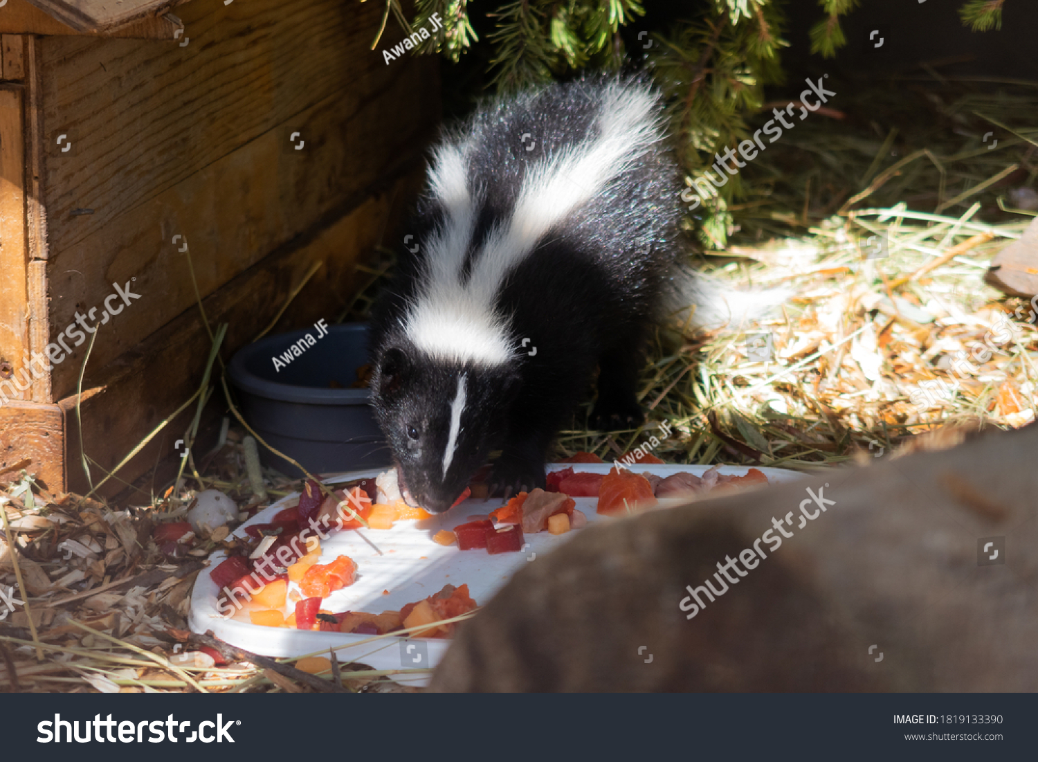 stock-photo-view-of-a-cute-skunk-eating-