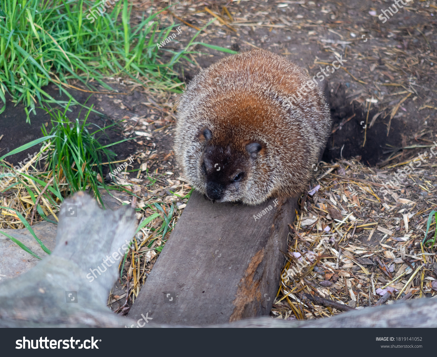 stock-photo-view-of-a-canadian-groundhog