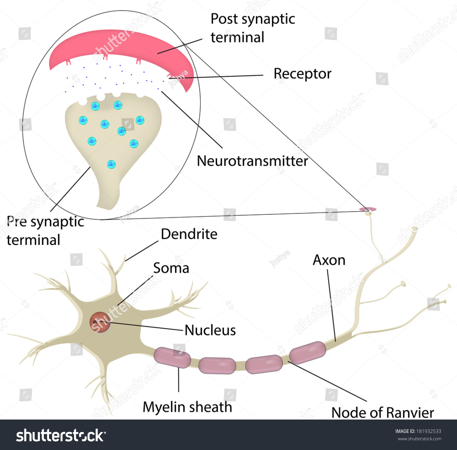 neuron synapse labeled diagram stock illustration 181932533