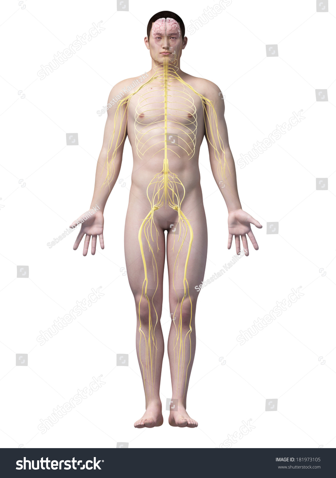 Illustration Of The Nerves Of An Asian Male Guy Ez Canvas