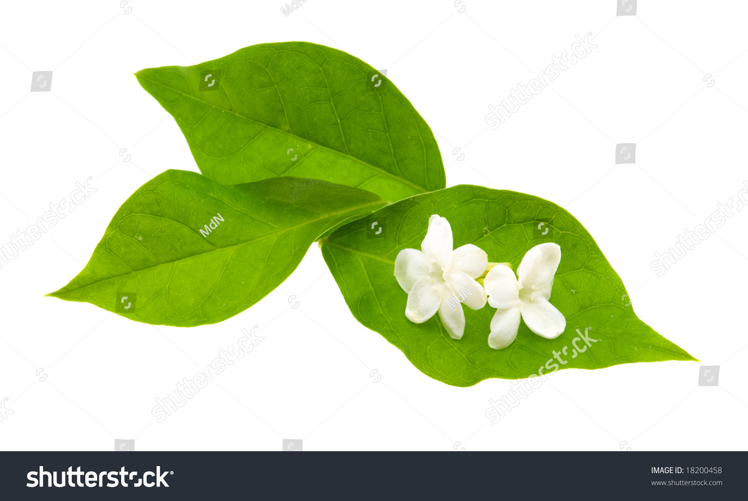 Jasmine Flower Leaves Stock Photo Edit Now 18200458 Shutterstock