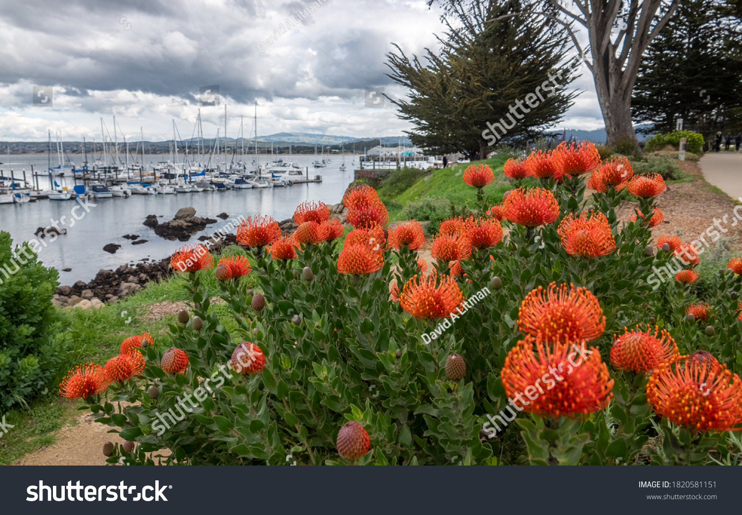 Blooming Scarlet Banksia flowers line the walkway overlooking the Monterey harbor and marina, along the Pacific Coast of California.