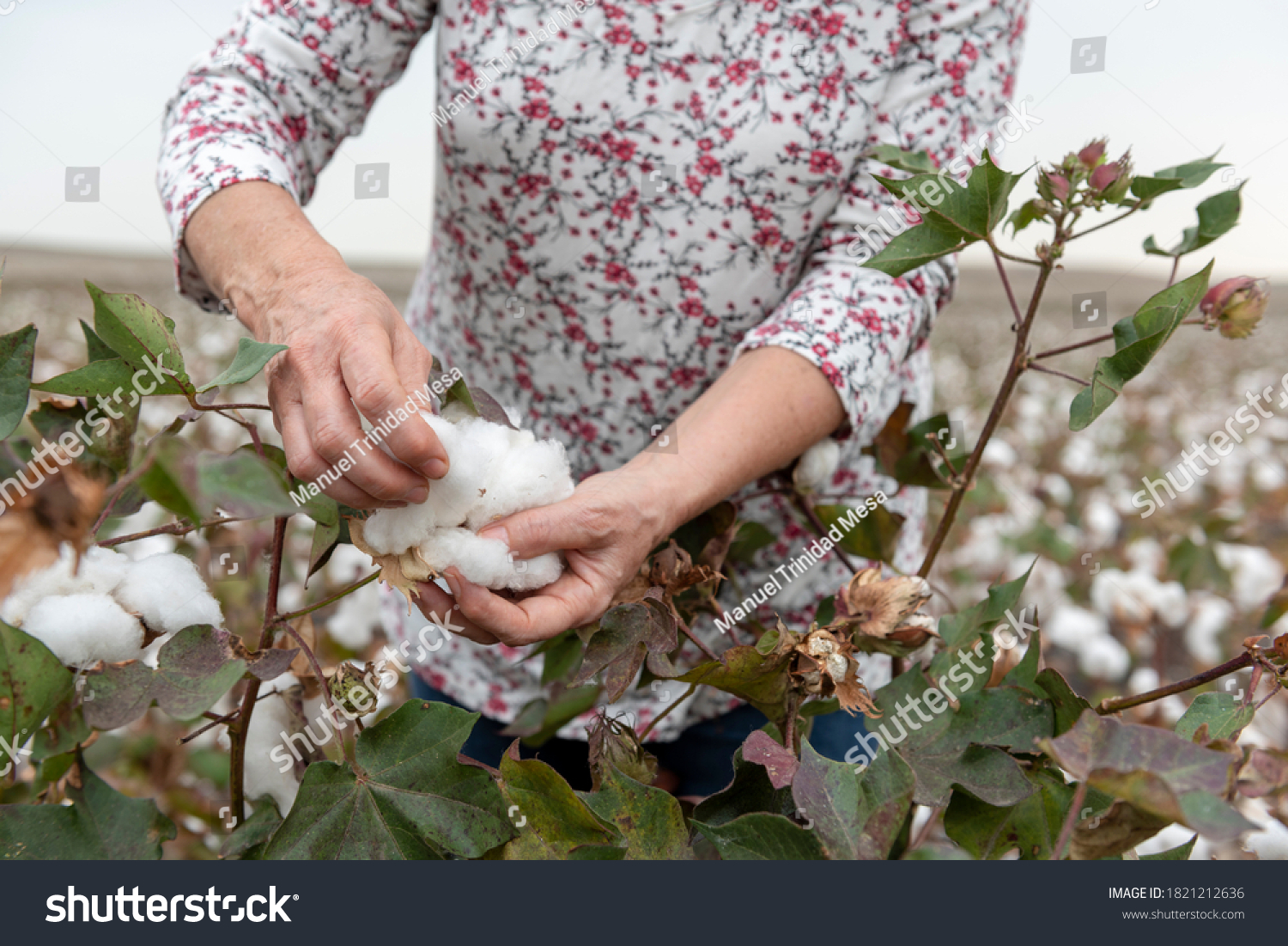 stock-photo-woman-harvesting-cotton-in-t