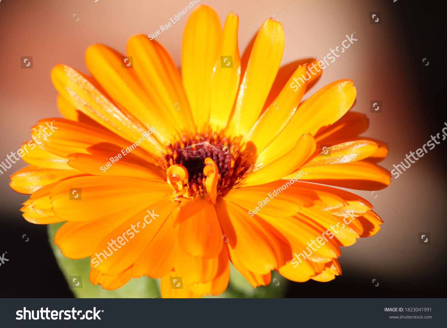Selective focus of a marigold flower head close up