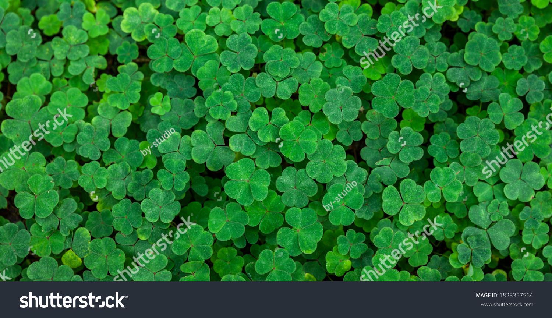 green fresh clovers in a fir forest #1823357564