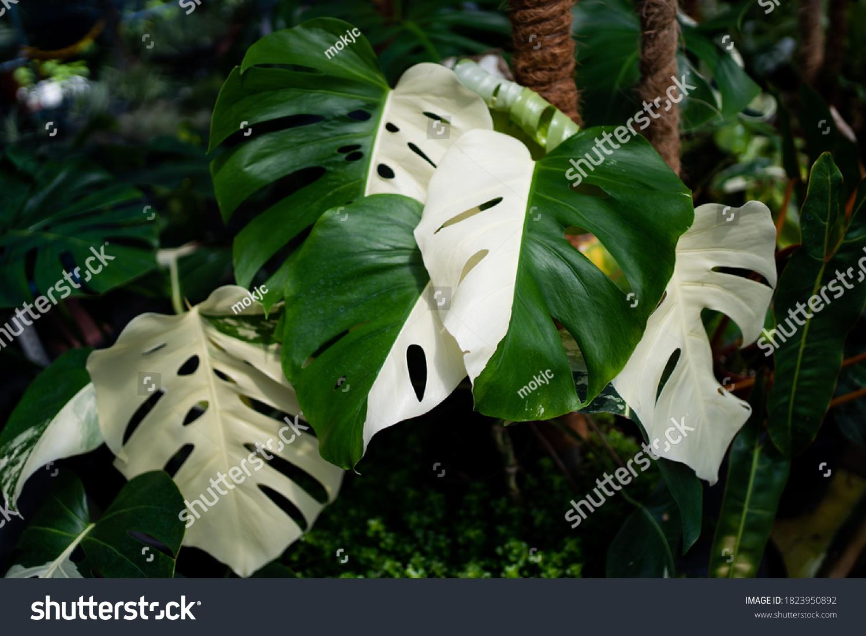 Monstera Albo half moon variegated borsigiana plant in the garden #1823950892