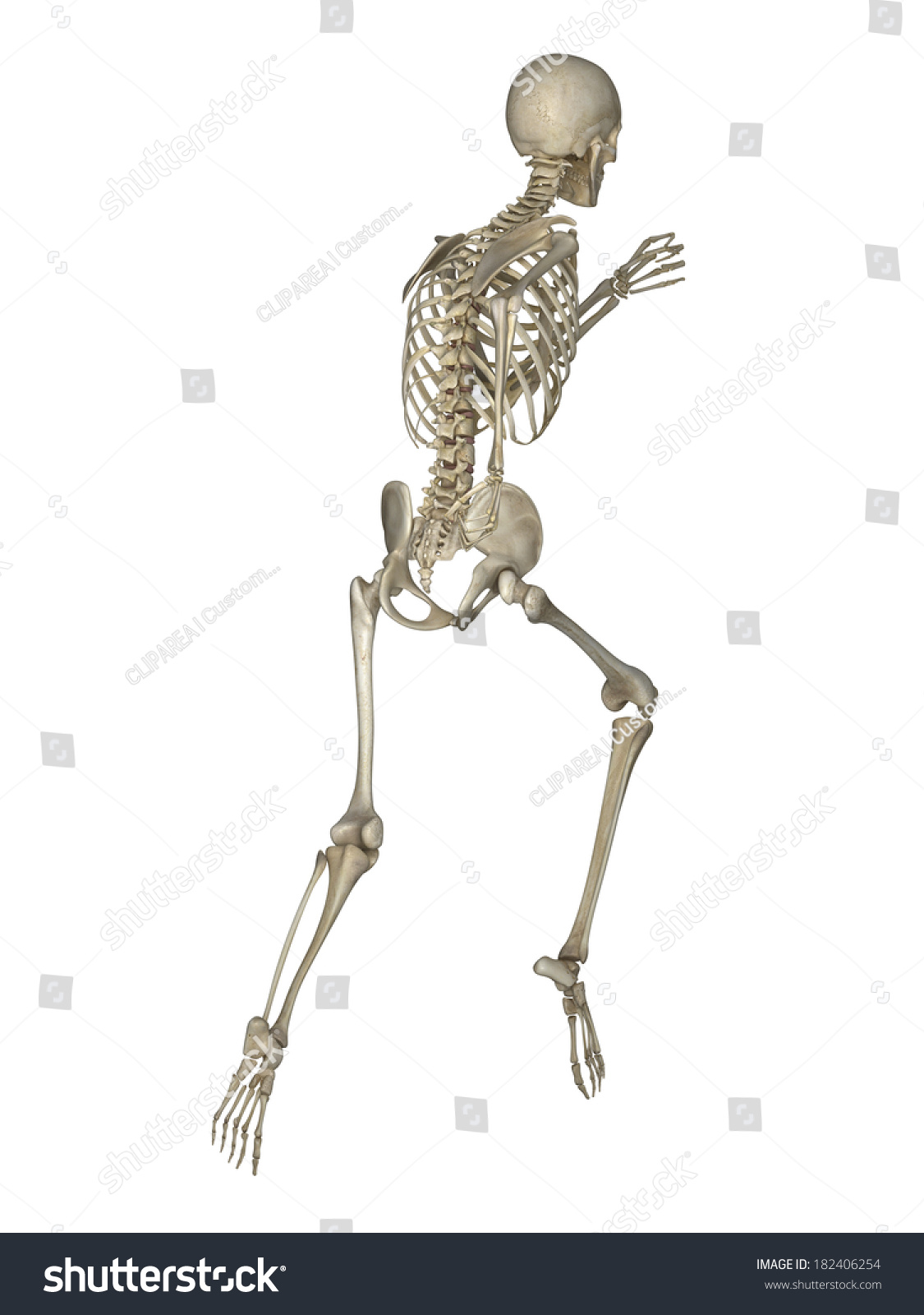 Running Skeleton Anatomy Stock Illustration 182406254 - Shutterstock