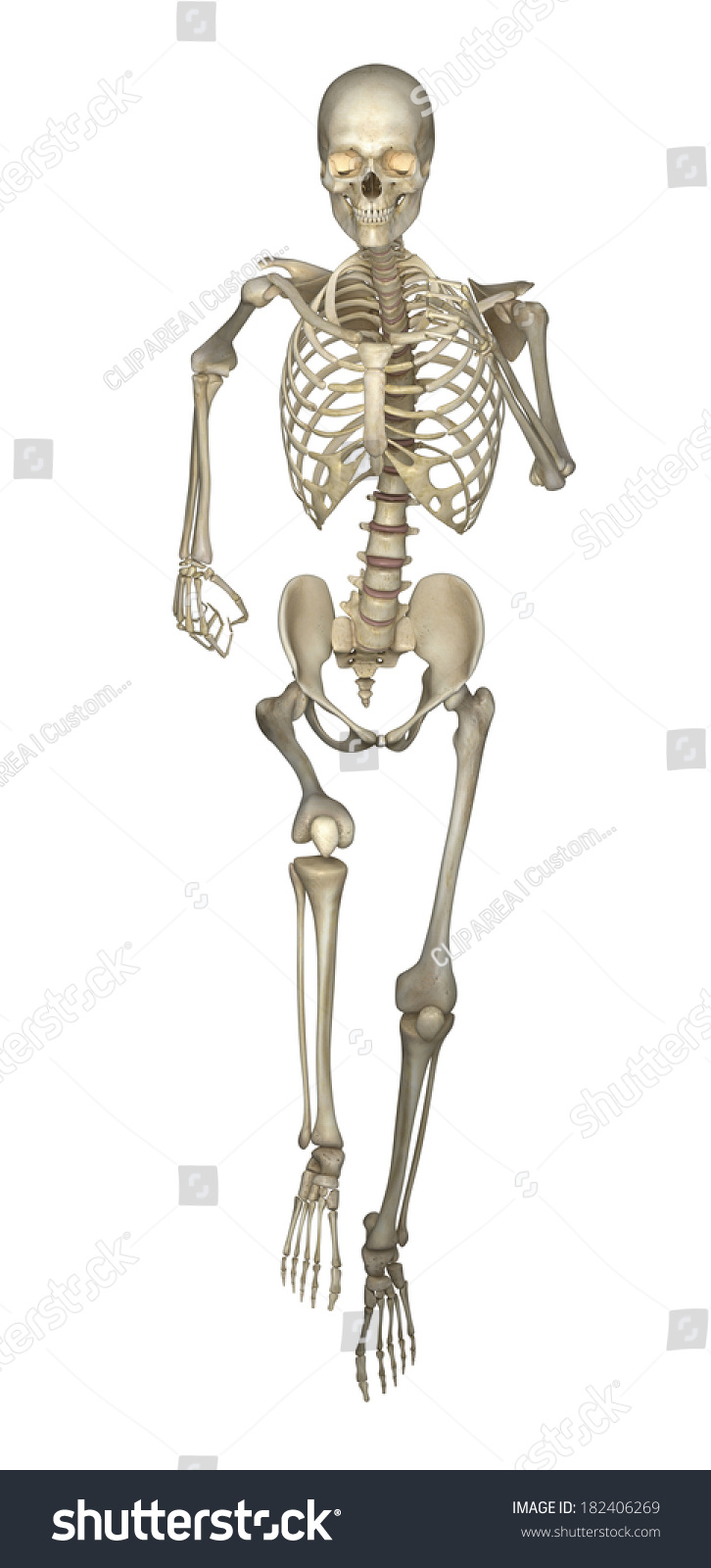 Running Skeleton Anatomy Stock Illustration 182406269 - Shutterstock