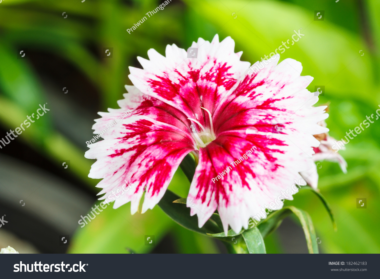 Indian Pink China Pink Flower Stock Photo Safe To Use 182462183