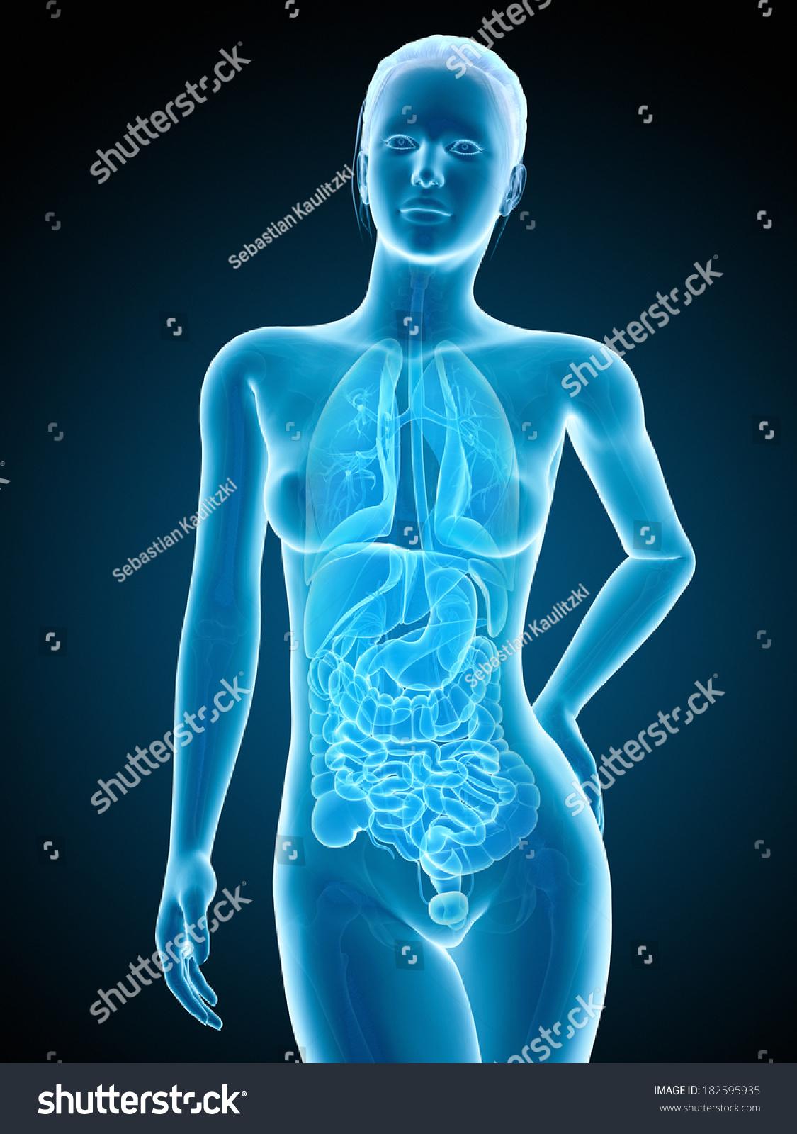 Medical Illustration Of The Female Kidneys Ez Canvas