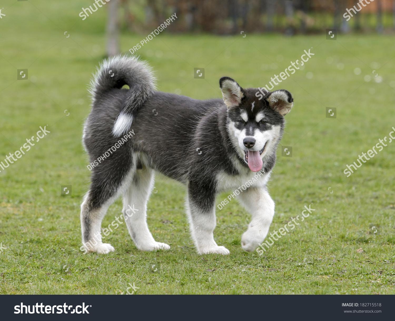 Alaskan Malamute Husky Puppy Stock Photo Edit Now 182715518