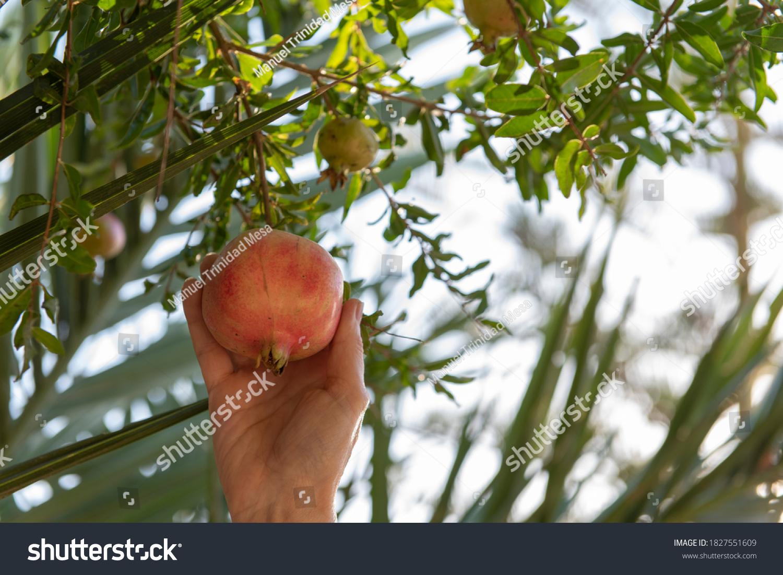 stock-photo-hand-picking-pomegranate-fru