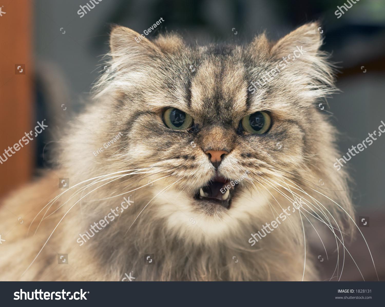 Funny Looking Persian Cat Stock Shutterstock