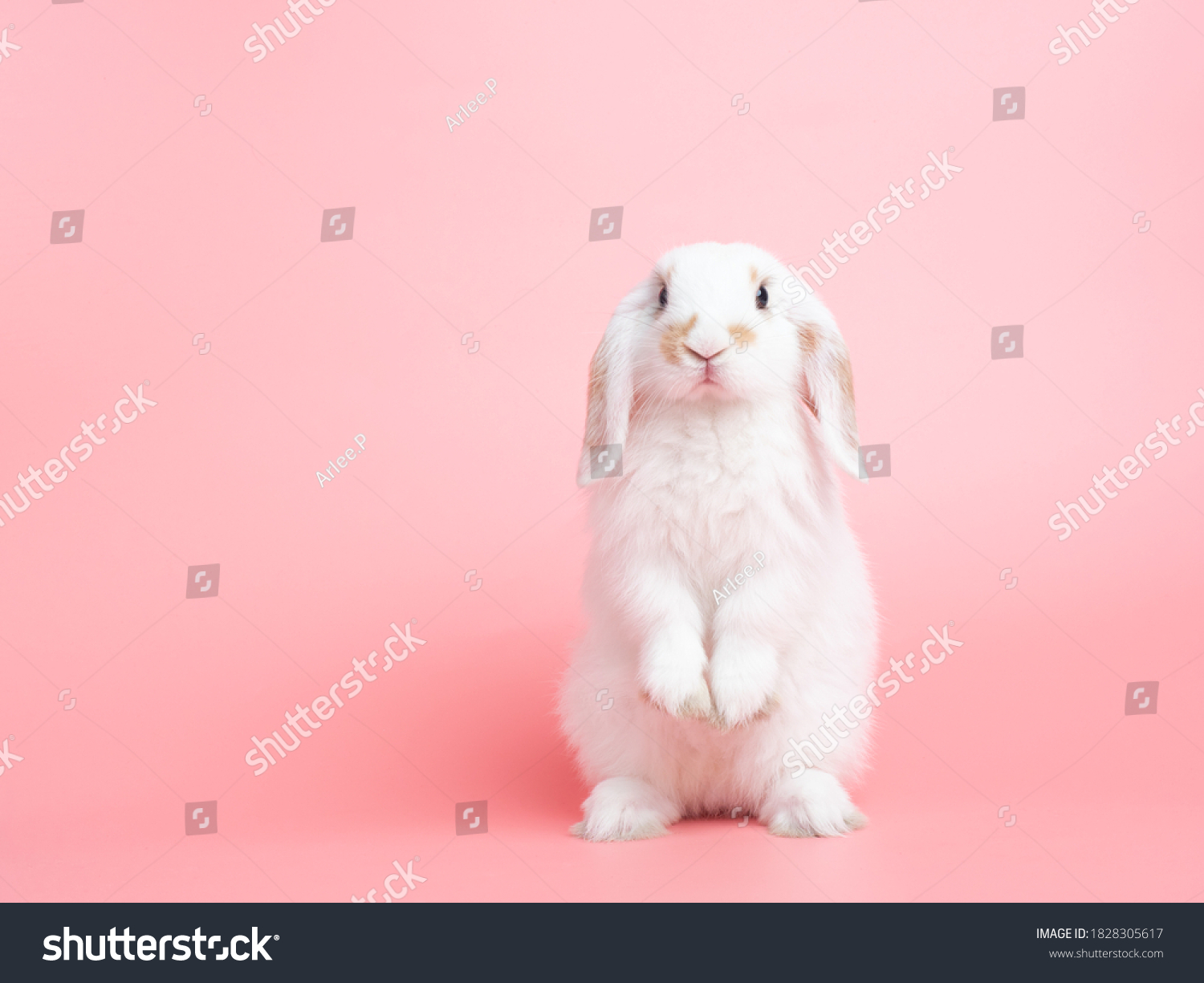 Front view of white cute baby holland lop rabbit standing on pink background. Lovely action of young rabbit. #1828305617