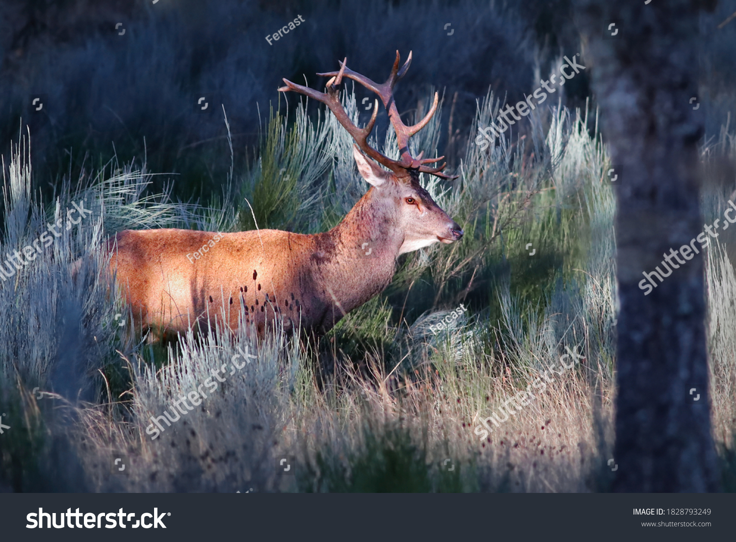 stock-photo-adult-male-red-deer-cervus-e