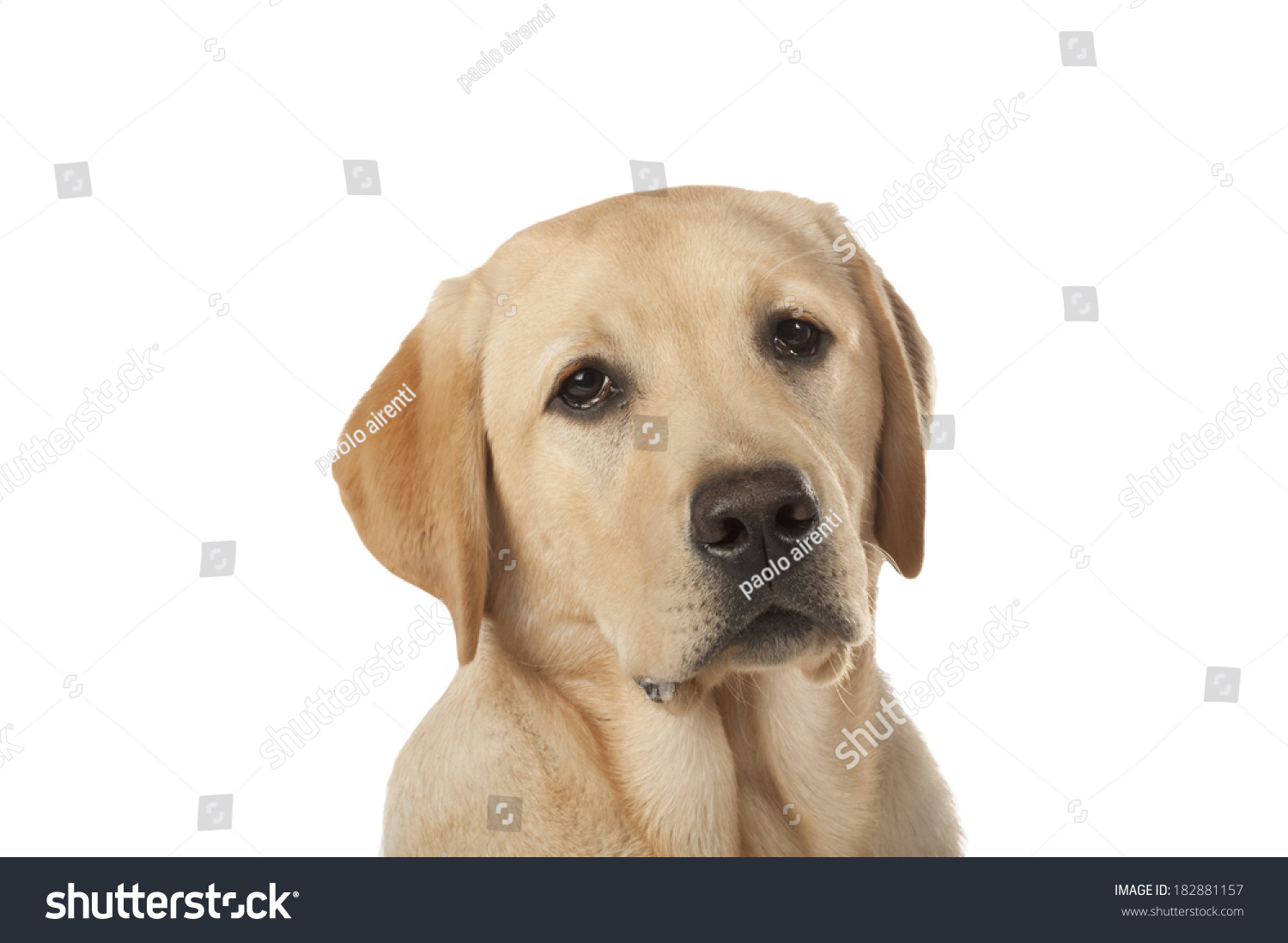 Beautiful Labrador Retriever Champagne Colored Isolated