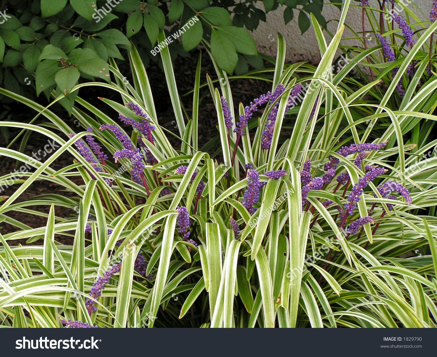 Liriope grass like perennial variegated foliage stock for Variegated grass plant