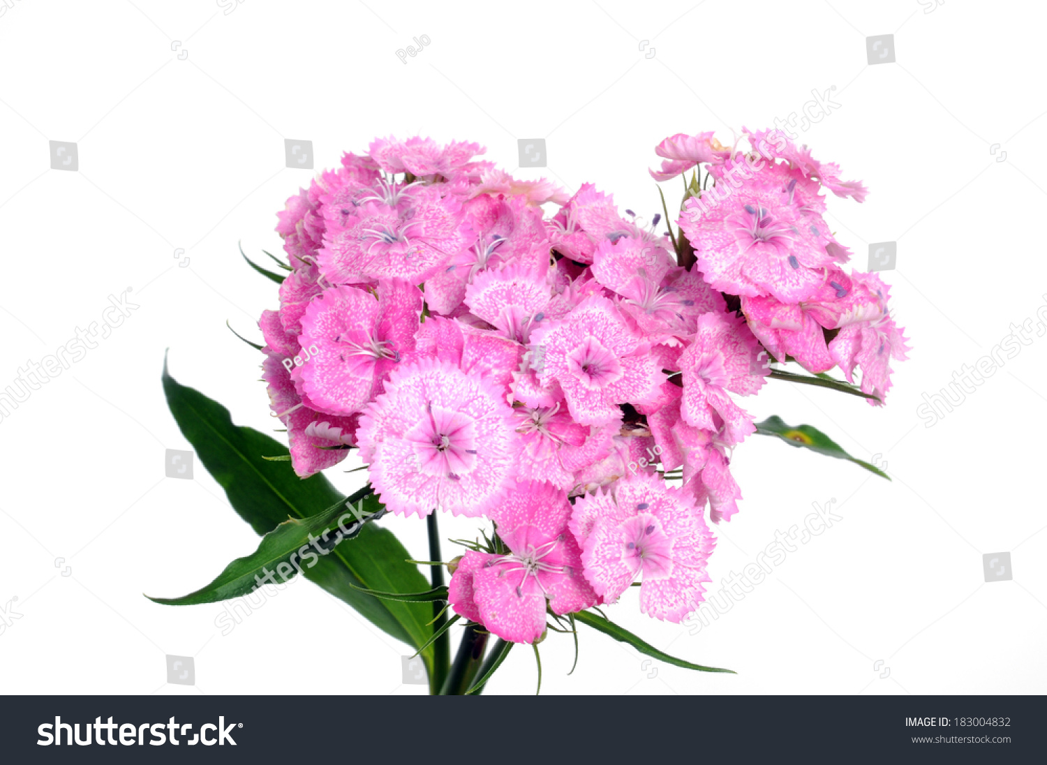 Sweet William Flower In Front Of A White Background Ez Canvas