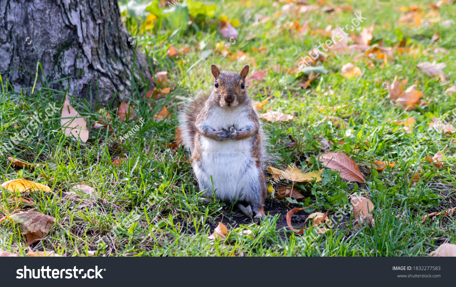 stock-photo-view-of-an-eastern-grey-squi