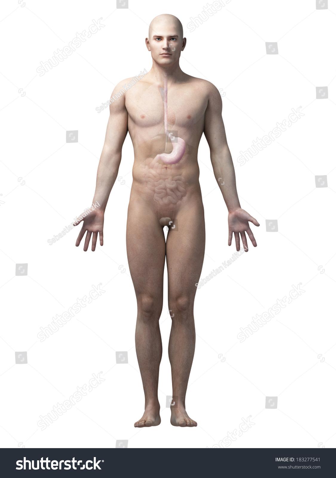 Male Anatomy Illustration Stomach Stock Illustration 183277541 ...