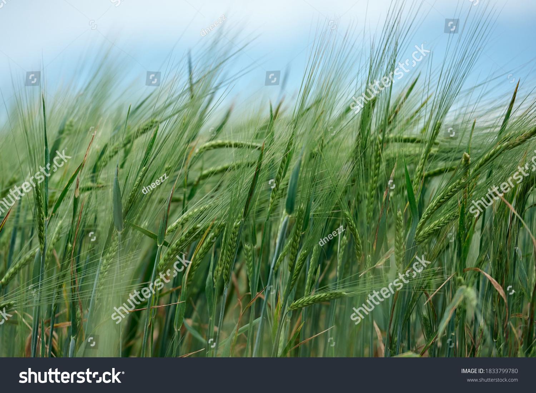 Field of fresh green barley cereals.Ears of green malting barley in the field #1833799780