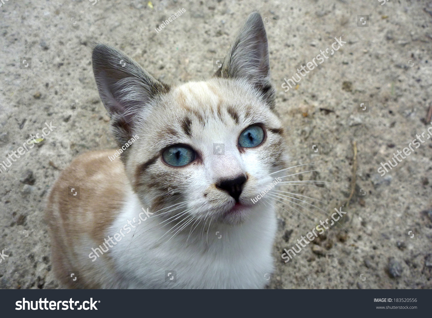 Grey Cat Blue Eyes Stock Shutterstock