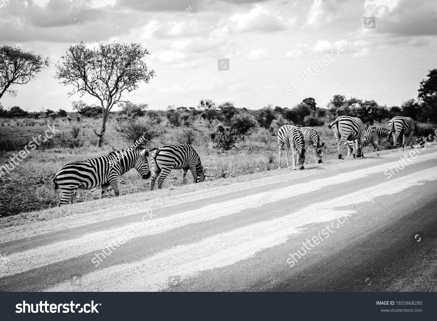 stock-photo-a-grazing-herd-of-plains-zeb