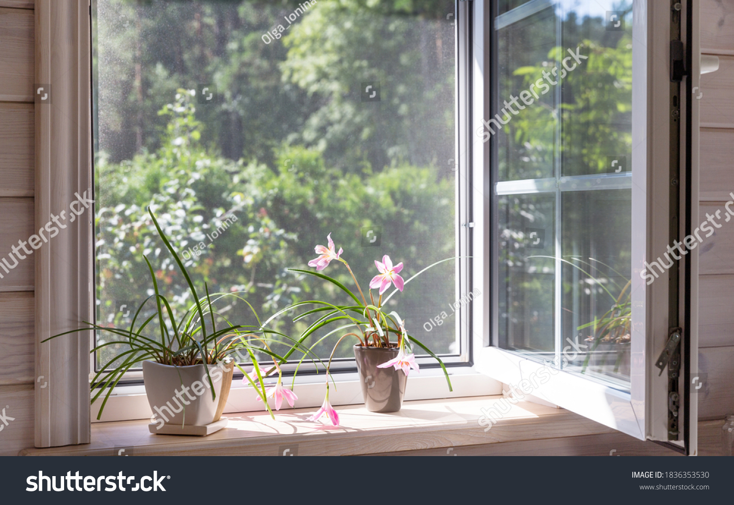 White window with mosquito net in a rustic wooden house overlooking the garden. Houseplants and a watering can on the windowsill. #1836353530