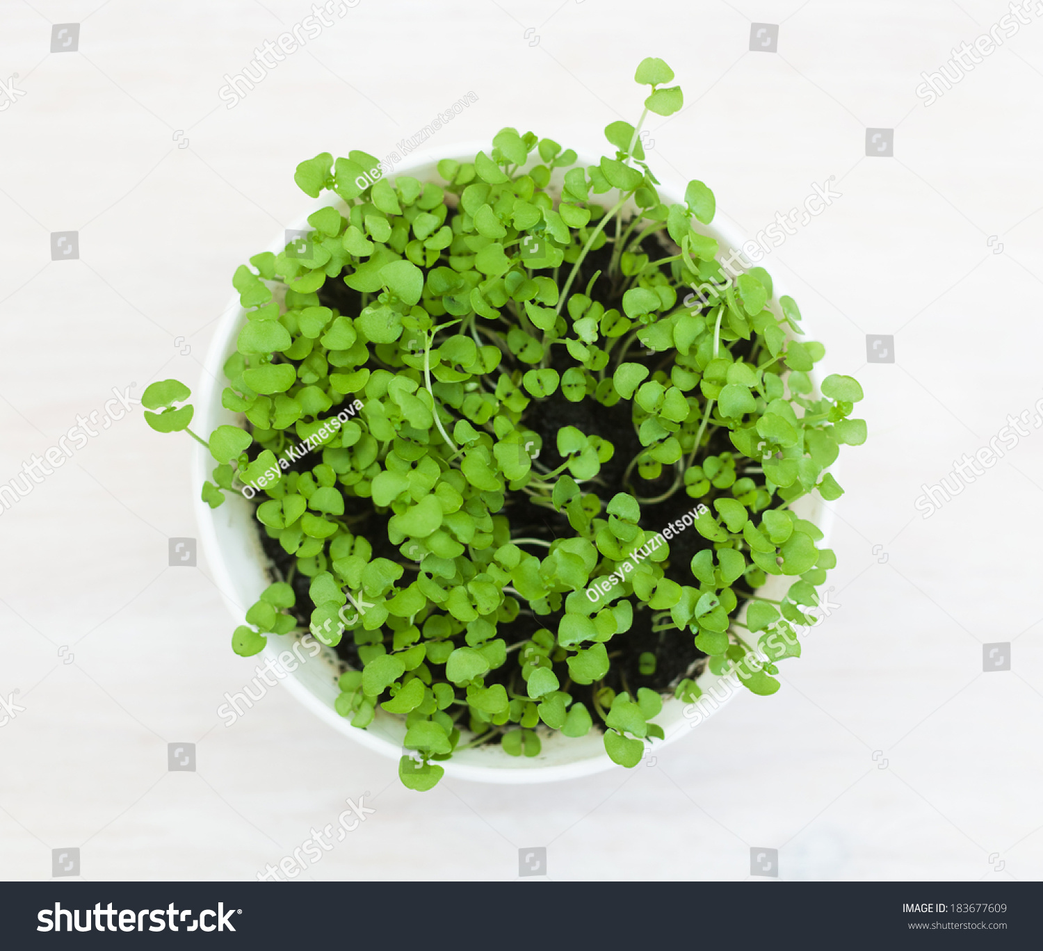 White Pot With Young Basil On A Wooden Table Top View Stock Photo