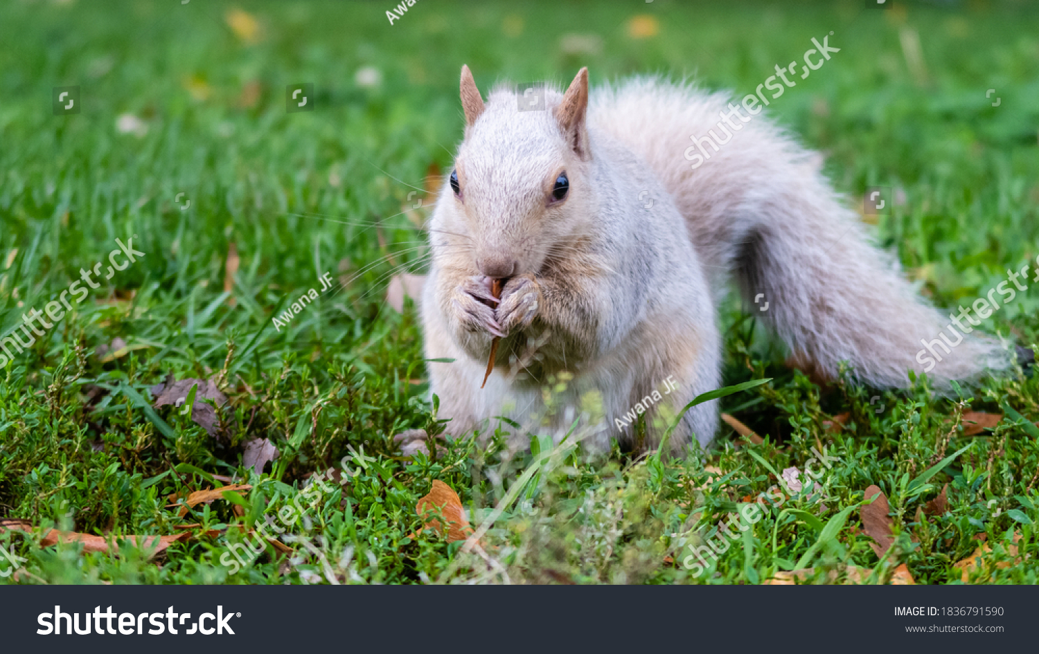 stock-photo-view-of-a-white-squirrel-eat