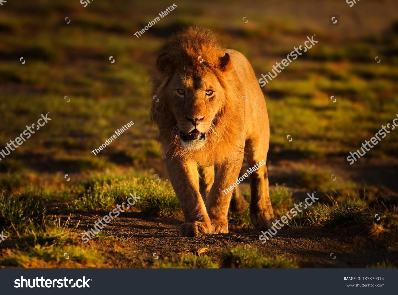 male lion walking stock photo edit now 183879914 shutterstock