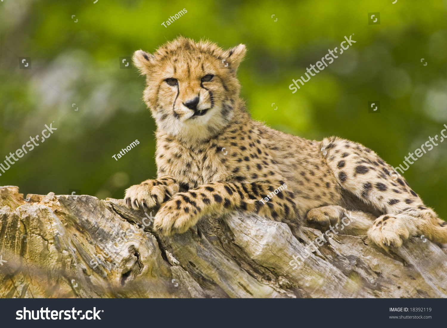 stock-photo-young-cheetah-making-faces-1