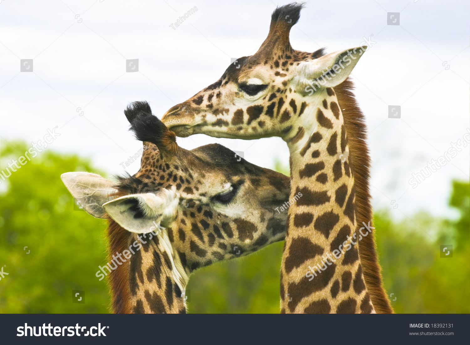 Giraffe mother with child